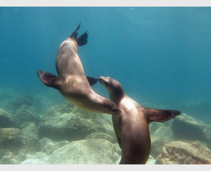 Sea lions playing - Cabo Pulmo, Mexico, April 2014