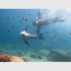 An adult sea lion couple swims in unison towards a cloud of scissortail chromis at Los Islotes - La Paz, Mexico, April 2014