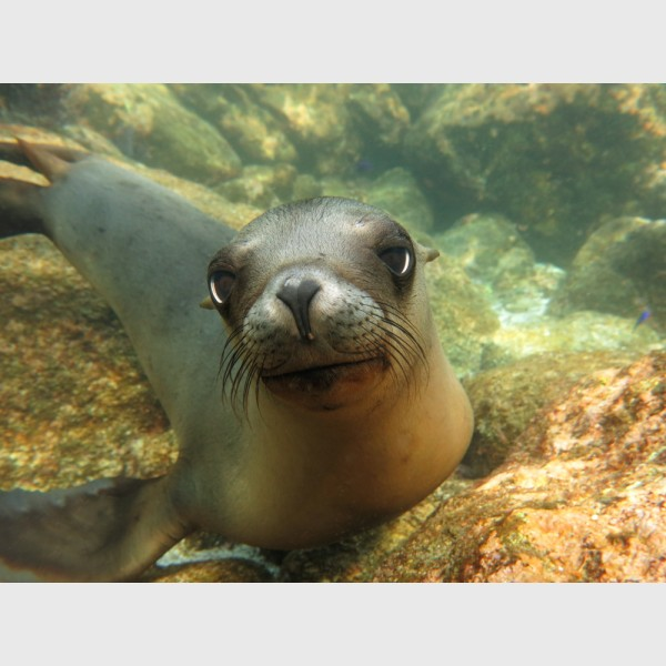 Doe-eyed sea lion pup - Los Islotes, La Paz, Mexico, January 2014