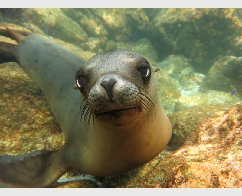 Doe-eyed sea lion pup - Los Islotes, La Paz, Mexico, January 2014