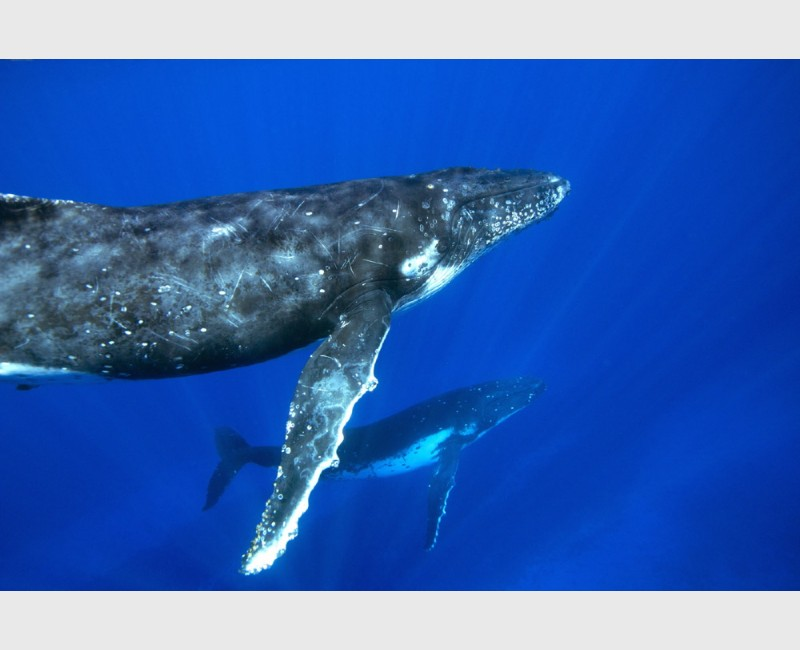 Humpback mirror -- a mother and calf in the same pose - Vava'u, Tonga, August 2014