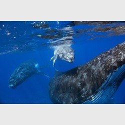 A Humpback whale calf swims above its mother, with the male escort trailing behind - Vava'u, Tonga, August 2014