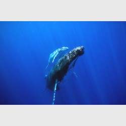 A Humpback whale mother and her much paler calf slightly below the surface - Vava'u, Tonga, August 2014