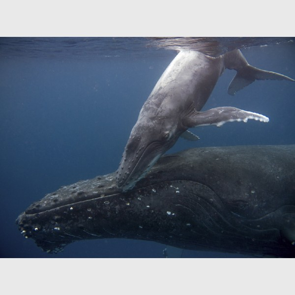 Touching moment -- Humpback calf and mother - Vava'u, Tonga, August 2014