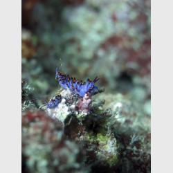 Unidentified nudibranch from the Flabellinidae family - Vava'u, Tonga, August 2014
